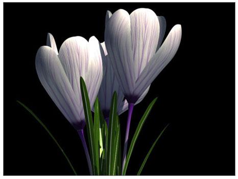 Çiğdem (Mahmur çiçeği)