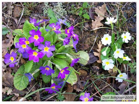 Çuha Çiçeği (Bahar çiçeği)