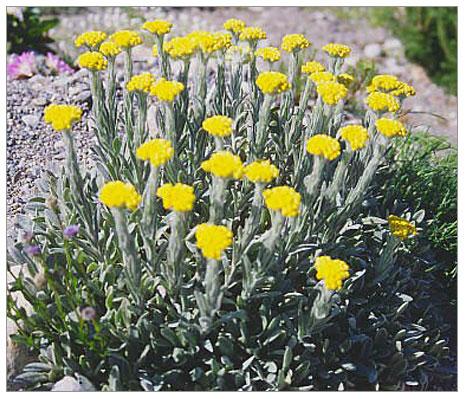 Tıp da, sarı çiçeğin şekeri düşürdüğünü doğruladı