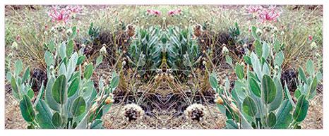 Psaphellus Recepii çiçeği