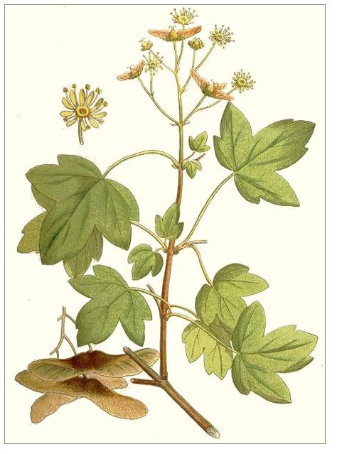 Akağaç (Betula Verrucosa)