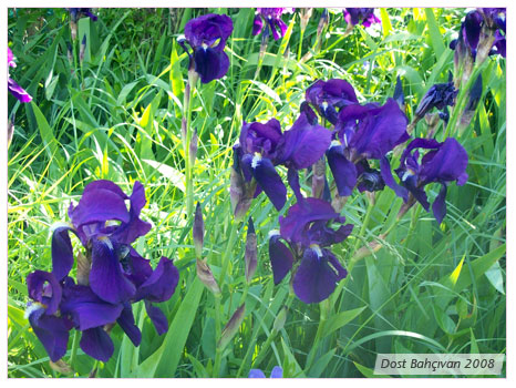 Süsen (iris)