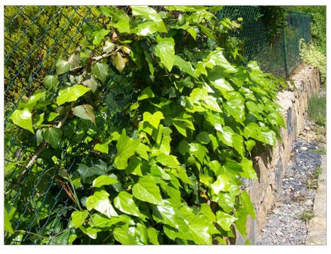 Duvar sarmaşığı (Ivy)