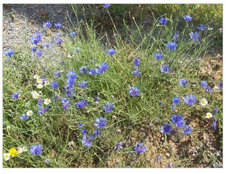 Peygamber Çiçeği (Mavi Kantoron)