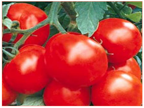 Domates (Solanum lycopersium)