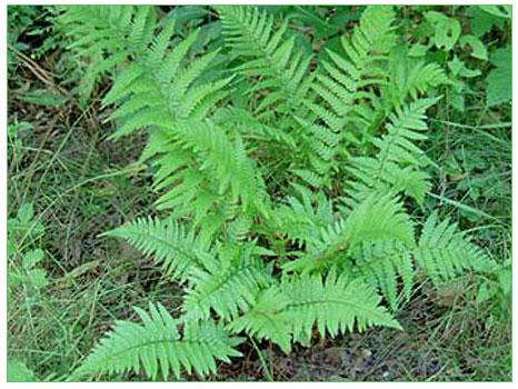 Eğreltiotu (Nepkrodium filixmas)