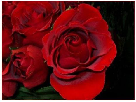 Gül (rosa)