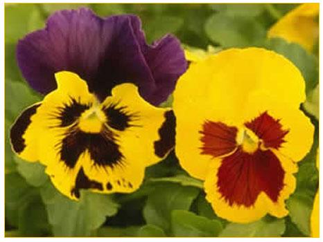 Hercaimenekşe (viola tricolor)