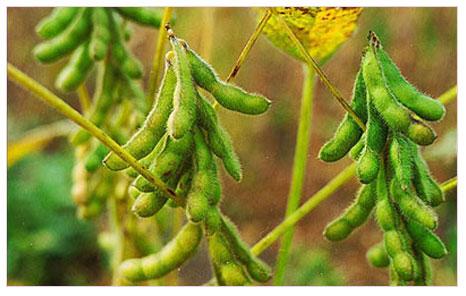 Mucizevi bitki: SOYA