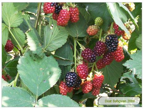 Böğürtlen (Rubus Fruticous)