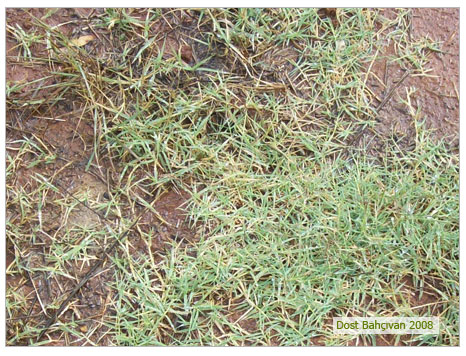 Ayrık Otu (Agropyrum Repens)
