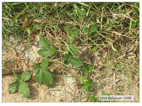 Yabani Böğürtlen  (Rubus Fruticosus)
