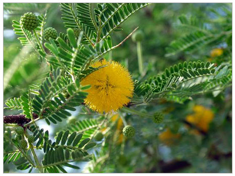 Amber Kabuğu (Croton Elutheria)