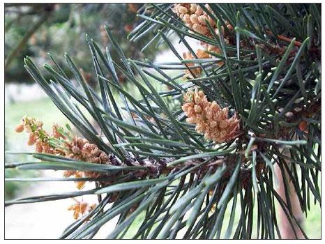 Çamağacı (Pinus)