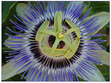 Çarkıfelek (Fırıldak çiçeği)