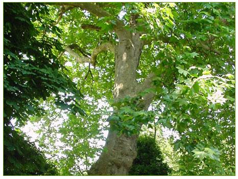 Çınar ağacı (Platanus)