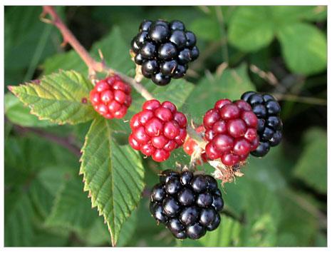Organik Böğürtlen (Rubus Fruticosus) Yetiştiriciliği Bölüm 1
