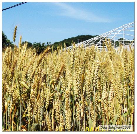 Buğday (Triticium vulgare)