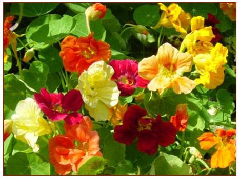 Latinçiçeği (frenkteresi)