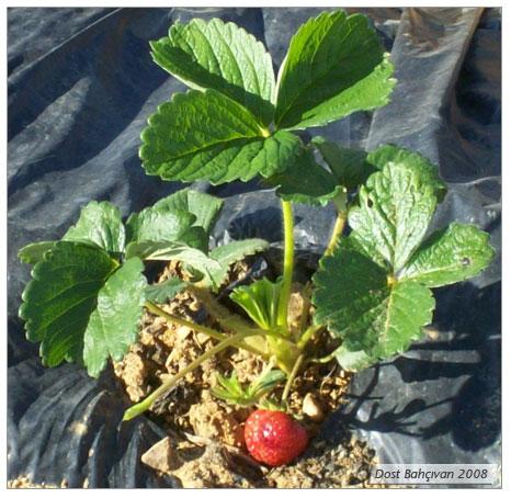 Organik Çilek (Fragaria Vesca) Yetiştiriciliği – Bölüm 1