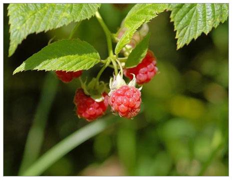 Organik Ahududu (Rubus Idaeus) Yetiştiriciliği: Bölüm 1